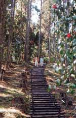 삼나무 나무 속을 삼림욕