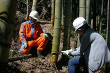 Felling work of bamboo which invaded artificial plantation