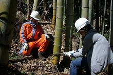 侵略人造林的竹的采伐工作