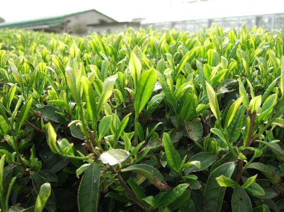 顯得清澈綠的芽的照片