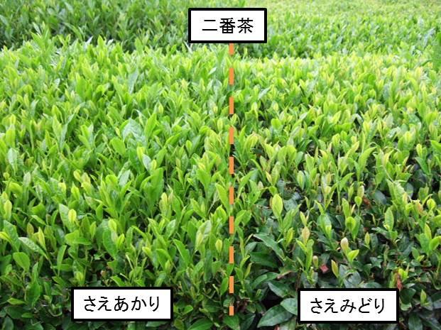 顯得清澈,被用綠的二號茶生長跟甚至光亮比較