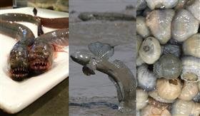 有明海的稀少的鱼集合
