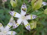아케보노소의 꽃