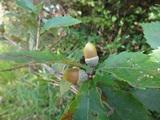 코나라의 열매(도토리)
