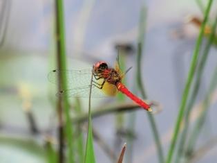 侏紅小蜻(禿)