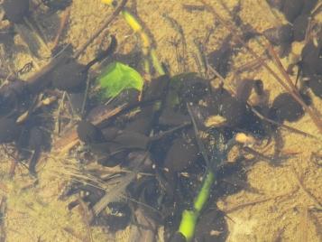 nihonhikigaeru的蝌蚪
